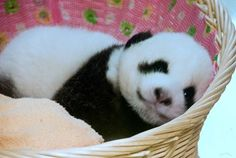How to raise a happy, successful, cooperative child, while disciplining less. In 5 simple steps. Big Panda, Panda Love, Cute Panda, Animals And Pets, Baby Animals, Cute Animals, Baby Panda Bears, Pikachu, Kawaii