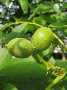 Konserwowanie ziół – metody – Zielicha Lime, Herbs, Fruit, Posts, Food, Herbal Medicine, Diet, Limes, Messages