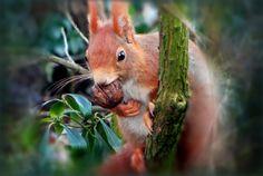 Eichhörnchen mit einer Walnuss - Jahreszeiten - Galerie - Community