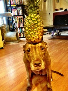 Sure You Re Dog Can Sit And Roll Over But Can He Do This - Owners balances objects on dogs head
