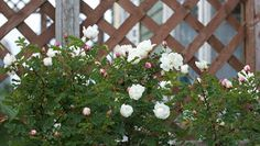 A highly scented small-flowered double Scots rose with ferny, wild-type leaves blooming in Nova Scotia. Once blooming, but flowers probably last longer with cool nights and moist air of Nova Scotia (and Scotland). This was the type of rose mentioned in Anne of Green Gables set on nearby Prince Edward Island, Canada.