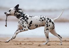 10 Most Popular Dog Breeds in the Philippines ~ Dalmatian
