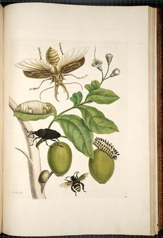 Maria Sibylla Merian Metamorphosis insectorum surinamensium [Transformations of the insects of Surinam] , [1705],  Image number:SIL33-05-49