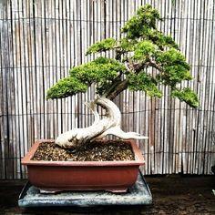 bonsai #bonsai-tree #bonsai #zen zen
