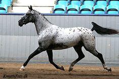 Stallion - Ravaldi - Knabstrupper USA