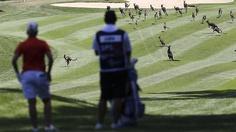 Kangaroos invade the golf course!