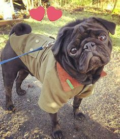 Urban Pup Barbour Style Harness Available At Www Ilovepugs Co Uk