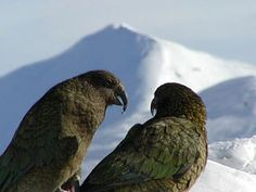 click on the play button to hear the sound of the Kea New Zealand, Parrot, Places To Go, Flora, Beautiful Places, Backpack, Articles, Gardens, Birds