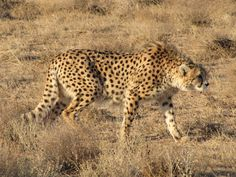 Asiatic Cheetah | The only remnants of the Asiatic Cheetah in Iran