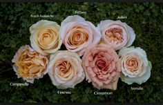 to previous articles in Flirty Fleurs. Floral Inspiration for Weddings and EventsLinks to previous articles in Flirty Fleurs. Floral Inspiration for Weddings and Events Juliet Garden Rose, Garden Roses, Juliet Roses, Garden Rose Bouquet, Colorful Flowers, Beautiful Flowers, Fleur Orange, Flower Chart, Rose Varieties