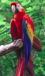 Cuban Red Macaw   Macaw World   Those Majestic Macaws