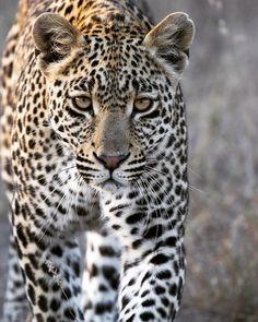 "- Tayla Jane McCurdy (@tay_mccurdy) on Instagram: ""Hosana the young leopard Prince."" #Safari #SafariLIVE #Africa #BigCat #Leopard"