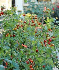 Lizzano hybrid tomat