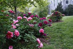 tree peonies, with jeff jabco of scott arboretum - A Way To Garden Hydrangea Landscaping, Hydrangea Garden, Peonies Garden, Landscaping Plants, Landscaping Design, Pink Peonies Blog, Peonies And Hydrangeas, Peony Flower Pictures, Gardens