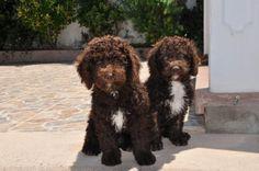 Spanish water dogs <3