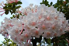 Rhododendron Tuba - they smell Divine!!