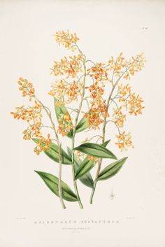 "heaveninawildflower:  Epidendrum polyanthum (1842) by Sarah Drake. James Bateman (1811-1897): ""The Orchidaceae of Mexico and Guatemala. (http://www.botanicus.org/page/769212 Wikimedia"