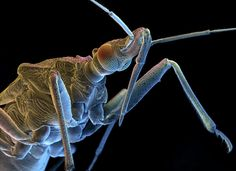 The assassin bug has a painful bite & saliva