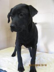 #GEORGIA #URGENT ~ Kennel 30 is an #adoptable Labrador Retriever dog in #LaGrange at CITY OF LaGRANGE ANIMAL SHELTER  1390 Orchard Hill Rd   Lagrange, GA 30240   lagrangeanimalcontrol@yahoo.com   Ph 706-298-3606