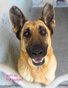 Gorgeous, 11-year-old German shepherd surrendered and in danger