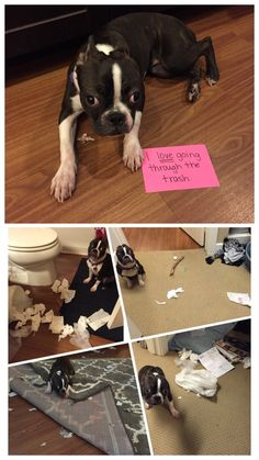 Barkpost - Boston Terrier Houdini