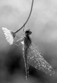 .Dragonfly. Check out Google to find 10 Interesting facts about Dragonflies. Amazing they have been with us for so long.