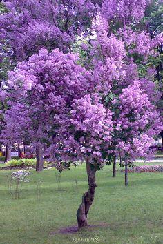 Purple Tree.