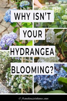 These tips for figuring out why your hydrangea isn't blooming are awesome. Find out what you need to do to get beautiful perennial Hydrangea flowers in your garden landscaping. #fromhousetohome #hydrangeas #gardeningtips #gardenideas #partshadeperennials #shadelovingshrubs Partial Shade Perennials, Shade Flowers Perennial, Shade Loving Shrubs, Flowers Perennials, Shade Plants, Smooth Hydrangea, Hydrangea Not Blooming, Hydrangea Garden, Hydrangea Flower