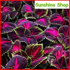 Kong Red Giant Coleus Herbs 20 Seeds Garden Mosquito Repellent Plant for sale online Home Garden Plants, Herb Garden, Lawn And Garden, Garden Shrubs, Rare Flowers, Beautiful Flowers, Special Flowers, Ear Seeds, Hanging Plants Outdoor