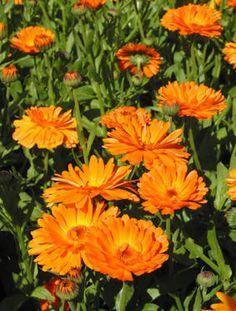 RINGBLOMST - Calendula officinalis