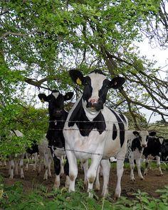 Cary Cows, via Flickr.