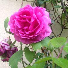 Rose Madame Isaac Pereire