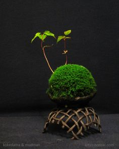 Unique kokedama Ball Ideas for Hanging Garden Plants selber machen ball Bonsai, Plants, Japanese Flowers, Planting Flowers, Mame Bonsai, Kokedama, Moss Garden, Ikebana, Plant Decor