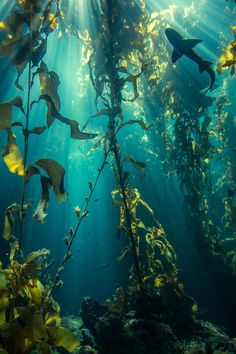 shark in a kelp forest