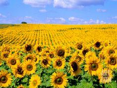 Wild Colors of Sunflowers, Jamestown, North Dakota, USA Photographic Print by Bill Bachmann at Art.com