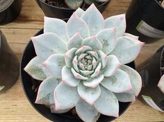 Succulent Plant. Echeveria Blue Bird by SucculentBeauties on Etsy