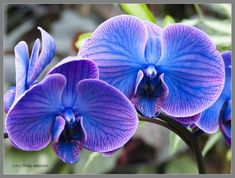 Wild Blue Orchids by Mogrianne.deviantart.com on @deviantART