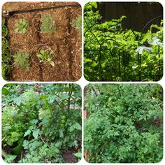 my cherry tomatoes garden stages