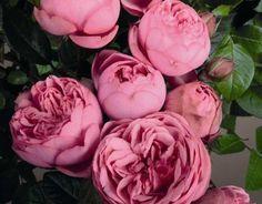 """Képtalálat a következőre: """"Happy piano rózsa"""""""