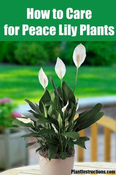Peace Lily Plant Care: How to Care for Your Peace Lilies - All For Garden Peace Lily Plant Care, Peace Plant, Outdoor Plants, Garden Plants, House Plants, Vegetable Garden, Outdoor Spaces, Growing Flowers, Planting Flowers