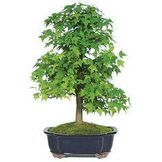 Need a home decor or unique gift idea? This is the best decoration ever! A Trident Maple Bonsai Tree! Please share it with your friends!