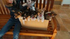 1000 images about corgi puppies nothing cuter on pinterest corgi puppies corgis and corgi. Black Bedroom Furniture Sets. Home Design Ideas