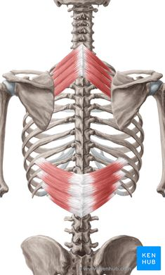 Serratus Posterior Superior and Serratus Posterior Inferior: Learn Your Muscles The serratus posterior muscles are important for proper respiration, but they're also a great spot for a therapist to perform trigger point therapy. Often, these deep muscles can contain lots of tension.