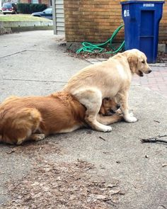 This girl who found a new and fun way to get her toy from her brother. | 31 Most Adorable Goldens Of 2015