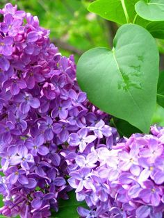 Love a vase full of fresh lilac next to your bed...thanks Mom :)