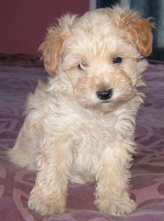 "tan schnoodle mix between a miniature poodle and a miniature schnauzer.Looks just like my Schnoodle, ""Scout"" Baby Animals, Funny Animals, Cute Animals, Miniature Schnoodle, Miniature Schnauzer, Cute Puppies, Dogs And Puppies, Schnoodle Puppy, Pet Dogs"