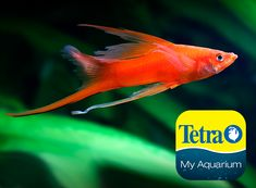 Originally from Central America, red in color and one of the more common Swordtails. This live-bearing community fish is related to Mollies and Platys. Great beginner fish.  Freshwater Top/Mid Feeder Skill Level: Great beginner fish Daily Diet: Tetra® Tropical Flakes Supplement: TetraMin® Select-a-Food Treats: Tetra® BabyShrimp  For more information on fish types and diets visit www.tetra-fish.com or download the free My Aquarium App. Tetra Fish, Aquarium Set, Aquarium Maintenance, All Fish, Cichlids, Colorful Fish, Freshwater Fish, Central America, Betta