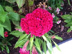 Celosia very hardy despite it's intricate apperance