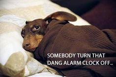 Not a morning Dachshund ! Lol! Actually we tell my hubby the same exact thing every morning! That's before our little Doxie runs from our bed to the covers on the couch and steals my half of blanket and all of the heating pad!! ❤ that silly BRAT!!