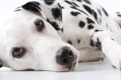 Dalmation.   You are lovely